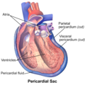 Cutaway illustration of pericardial sacPericardial Cavity Diagram