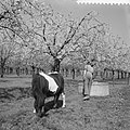 Bloeiende Betuwe, paard in een boomgaard, Bestanddeelnr 910-3072.jpg