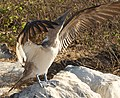 Blue-Footed Boobie showing off (6519212109).jpg