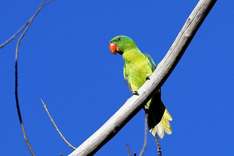 File:Blue-napped parrot -Tanygnathus lucionensis-8a.jpg