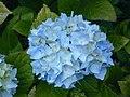 Blue Hydrangea Ferndale CA.JPG