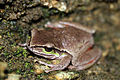 Blue Mountains Tree Frog (Litoria citropa) (8397039037).jpg