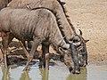 Blue Wildebeests (Connochaetes taurinus) drinking ... (32061950011).jpg