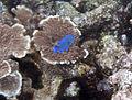 Blue fish (4385162647).jpg