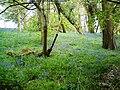 Bluebell Wood - geograph.org.uk - 1280622.jpg