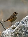 Bluethroat (Luscinia svecica) (24795202960).jpg