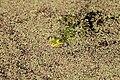 Bochum - Botanischer Garten - Pelophylax lessonae 03 ies.jpg