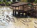 Bolikhamxay Thabok Ducks2.JPG
