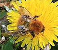Bombus (Thoracobombus) pascuorum - Common carder bee - Flickr - S. Rae.jpg