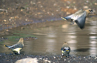 Bombycilla cedrorum drinking from puddle 1.jpg