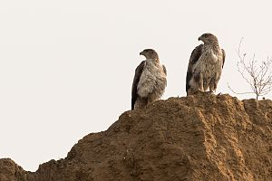 Bonelli's eagle - Bonelli's Eagle Male and Female Pair