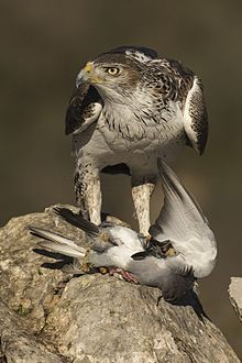Bonelli's Eagle with prey - Montsonis - Spain MG 4704 (25099364712).jpg