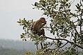 Bonnet macaque 02.jpg