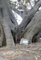 Bordighera Ficus macrophilla Scibretta.png