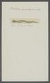 Borlasia quadripunctata - - Print - Iconographia Zoologica - Special Collections University of Amsterdam - UBAINV0274 105 01 0005.tif