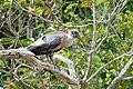 Bostrychia hagedash South Africa.jpg