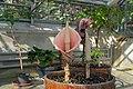 Botanischer Garten der Universität Basel - Amorphophallus bulbifer.jpg
