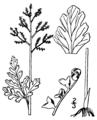 Botrychium matricariaefolium BB-1913.png