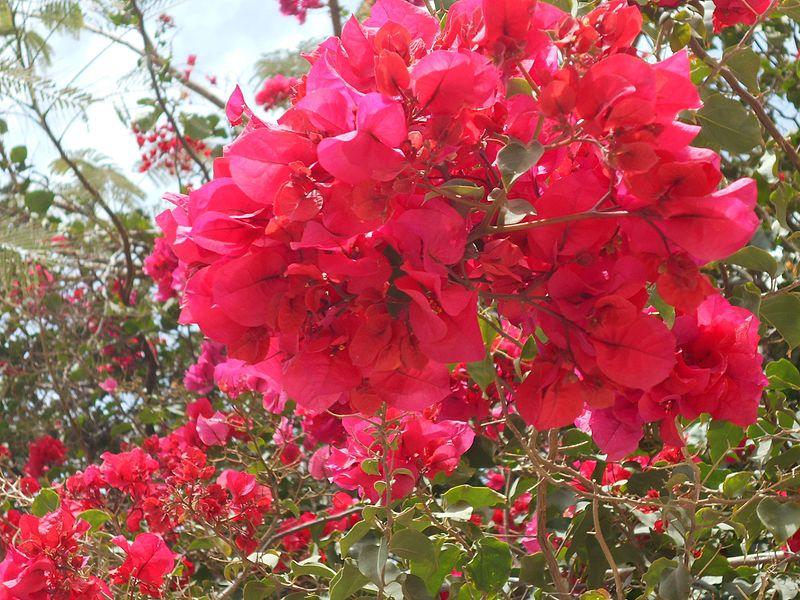 File:Bougainvillea rosa a cv.jpg