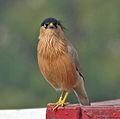 Brahminy Starling (Sturnus pagodarum) at Hodal I Picture 0117.jpg