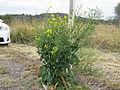 Brassica napus plant13 (14681427655).jpg