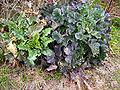 Brassica oleracea He.jpg