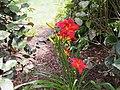 Bright Red Daylily - 9453267640.jpg