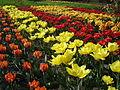 Britzer Garten Tulipan 2.jpg