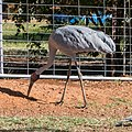 Brolga at Boulia Wildlife Haven Herbert St Boulia Queensland P1030314.jpg