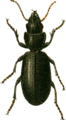 Broscus cephalotes Jacobson.png
