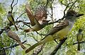 Brown-crested Flycatcher from The Crossley ID Guide Eastern Birds.jpg