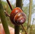 Brown-lipped Snail (49121152051).jpg