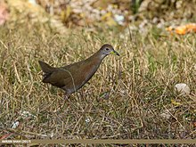 Brown Crake (Amaurornis akool) (27830555559).jpg