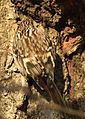 Brown Creeper (24566872771).jpg