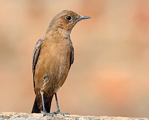 Brown rock chat (Oenanthe fusca).jpg