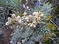 Bunga Edelweiss di Kawasan Gunung Gede-Pangrango.jpg