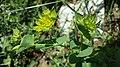 Bupleurum rotundifolium sl12.jpg