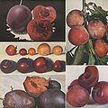 Burbank satsuma plum.jpg
