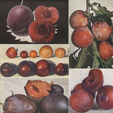 «Кровавокрасная слива Сацума» (вверху слева), сорт Бёрбанк (вверху справа) и различные разновидности гибридов между ними. Изображение в центре показывает изменчивость формы плодов при скрещивании между двумя расами слив. По изданию 1914 года