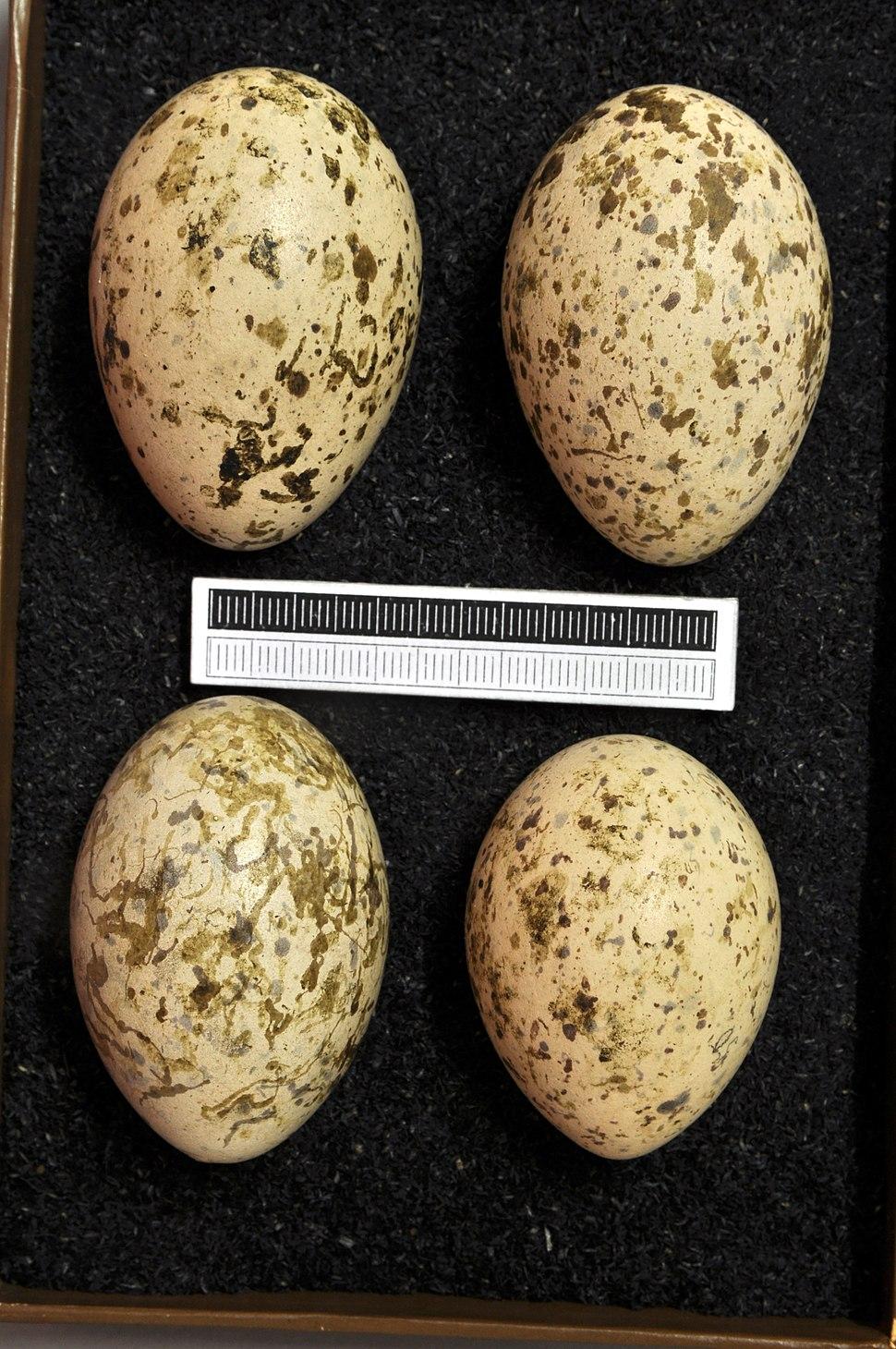 Burhinus oedicnemus MWNH 0235