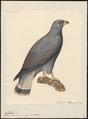 Buteo polysomus - 1824-1839 - Print - Iconographia Zoologica - Special Collections University of Amsterdam - UBA01 IZ18200057.tif