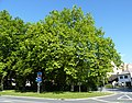 Bystřice pod Hostýnem, památný strom.JPG