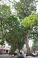 Cây xà cừ cổ thụ trước cổng vào Trung tâm Văn hóa Nghệ thuật tỉnh Hải Dương, đường Hồng Quang, thành phố Hải Dương, tỉnh Hải Dương.jpg