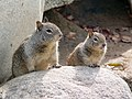 CA Ground Squirrel pair.jpg