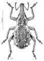 COLE Curculionidae Hadramphus spinipennis.png