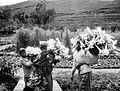 COLLECTIE TROPENMUSEUM Bloemenpluksters op de hellingen van de Goenoeng Slamat Java TMnr 10013122.jpg