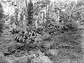 COLLECTIE TROPENMUSEUM Jonge een-jarige cacaoplanten met lamtoro als grondbedekker op onderneming Assinan Midden-Java TMnr 10012236.jpg