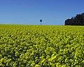 CSIRO ScienceImage 1511 Mt Barker WA Canola.jpg