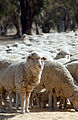 CSIRO ScienceImage 3045 Hand feeding sheep in paddock.jpg