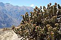 Caňon del Colca - kaktusy - panoramio.jpg